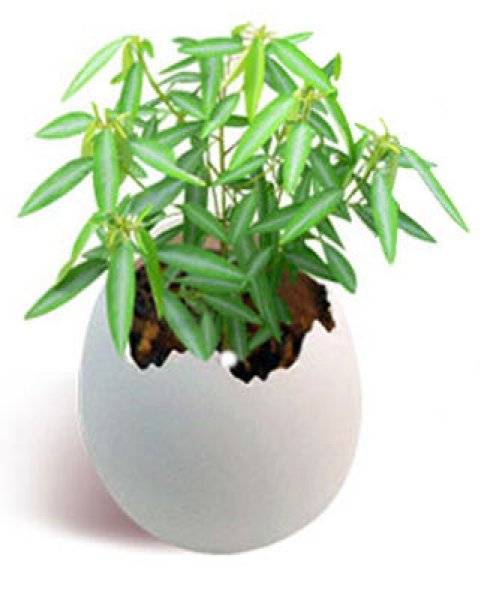 Dancing with egg<br> plant - Telegraph<br>plant